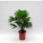palmier eventail livistona rotundifolia - La jardinerie de pessicart nice - Livraison a domicile nice 06 plantes vertes terres terreaux jardinage arbres cactus