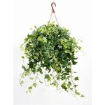 lierre hedera suspension- La jardinerie de pessicart nice - Livraison a domicile nice 06 plantes vertes terres terreaux jardinage arbres cactus