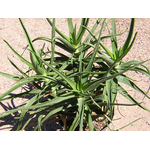 aloe striatulata2- La jardinerie de pessicart nice - Livraison a domicile nice 06 plantes vertes terres terreaux jardinage arbres cactus