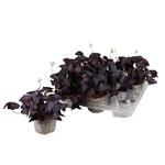 oxalis triangularis oxalis pourpre violet fleurs roses 2- La jardinerie de pessicart nice - Livraison a domicile nice 06 plantes vertes terres terreaux jardinage arbres cactus