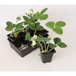 fraisiers en godets - La jardinerie de pessicart nice - Livraison a domicile nice 06 plantes vertes terres terreaux jardinage arbres cactus