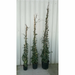 jasmin persistant rhyncospermum trachelospermum - La jardinerie de pessicart nice - Livraison a domicile nice 06 plantes vertes terres terreaux jardinage arbres cactus