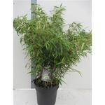 bambou non tracant fargesia - La jardinerie de pessicart nice - Livraison a domicile nice 06 plantes vertes terres terreaux jardinage arbres cactus