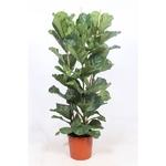 ficus lyrata - La jardinerie de pessicart nice - Livraison a domicile nice 06 plantes vertes terres terreaux jardinage arbres cactus