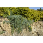 mimosa baleyana prostrate rampant pepinieres cavatore 3 - La jardinerie de pessicart nice - Livraison a domicile nice 06 plantes vertes terres terreaux jardinage arbres cactus