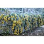 mimosa baleyana prostrate rampant pepinieres cavatore - La jardinerie de pessicart nice - Livraison a domicile nice 06 plantes vertes terres terreaux jardinage arbres cactus