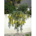 mimosa baleyana prostrate rampant pepinieres cavatore 2 - La jardinerie de pessicart nice - Livraison a domicile nice 06 plantes vertes terres terreaux jardinage arbres cactus