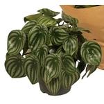 peperomia watermelon - La jardinerie de pessicart nice - Livraison a domicile nice 06 plantes vertes terres terreaux jardinage arbres cactus