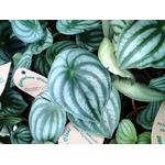 peperomia watermelon 2- La jardinerie de pessicart nice - Livraison a domicile nice 06 plantes vertes terres terreaux jardinage arbres cactus
