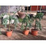 mimosa baleyana prostrate rampant pepinieres cavatore 4 - La jardinerie de pessicart nice - Livraison a domicile nice 06 plantes vertes terres terreaux jardinage arbres cactus