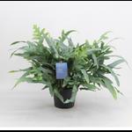 Phlebodium aureum blue star 2 - La jardinerie de pessicart nice - Livraison a domicile nice 06 plantes vertes terres terreaux jardinage arbres cactus