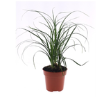 beaucarnea nolina - La jardinerie de pessicart nice - Livraison a domicile nice 06 plantes vertes terres terreaux jardinage plantes potageres potager