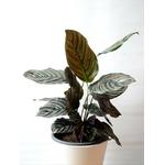 calathea ornata - La jardinerie de pessicart nice - Livraison a domicile nice 06 plantes vertes terres terreaux jardinage arbres cactus