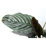 calathea ornata 2 - La jardinerie de pessicart nice - Livraison a domicile nice 06 plantes vertes terres terreaux jardinage arbres cactus