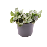 Fittonia - La jardinerie de pessicart nice - Livraison a domicile nice 06 plantes vertes terres terreaux jardinage