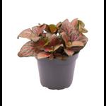 Fittonia 2 - La jardinerie de pessicart nice - Livraison a domicile nice 06 plantes vertes terres terreaux jardinage