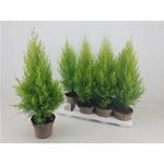 cupressus - La jardinerie de pessicart nice - Livraison a domicile nice 06 plantes vertes terres terreaux jardinage arbres cactus