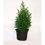 cupressus 2 - La jardinerie de pessicart nice - Livraison a domicile nice 06 plantes vertes terres terreaux jardinage arbres cactus