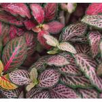 Fittonia 3 - La jardinerie de pessicart nice - Livraison a domicile nice 06 plantes vertes terres terreaux jardinage