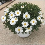 anthemis - La jardinerie de pessicart nice - Livraison a domicile nice 06 plantes vertes terres terreaux jardinage arbres cactus