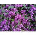 glycine australienne hardenbergia 2 - La jardinerie de pessicart nice - Livraison a domicile nice 06 plantes vertes terres terreaux jardinage arbres cactus plantes fleuries cadeaux
