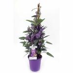 glycine australienne hardenbergia - La jardinerie de pessicart nice - Livraison a domicile nice 06 plantes vertes terres terreaux jardinage arbres cactus plantes fleuries cadeaux