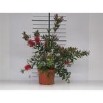 callistemon 2 - La jardinerie de pessicart nice - Livraison a domicile nice 06 plantes vertes terres terreaux jardinage arbres cactus