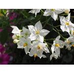 solanum jasminoides - La jardinerie de pessicart nice - Livraison a domicile nice 06 plantes vertes terres terreaux jardinage arbres cactus