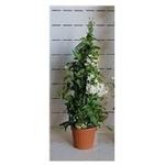 solanum jasminoides 2 - La jardinerie de pessicart nice - Livraison a domicile nice 06 plantes vertes terres terreaux jardinage arbres cactus