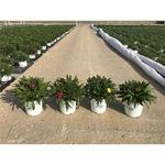immortelle a bractée 3 - La jardinerie de pessicart nice - Livraison a domicile nice 06 plantes vertes terres terreaux jardinage arbres cactus