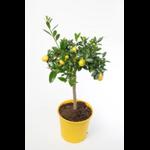 limequat citrus 2 - La jardinerie de pessicart nice - Livraison a domicile nice 06 plantes vertes terres terreaux jardinage