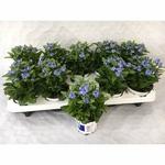 myosostis 2 - La jardinerie de pessicart nice - Livraison a domicile nice 06 plantes vertes terres terreaux jardinage arbres cactus