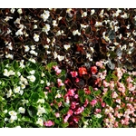 begonia godets - La jardinerie de pessicart nice - Livraison a domicile nice 06 plantes vertes terres terreaux jardinage