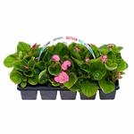 begonia godets 2 - La jardinerie de pessicart nice - Livraison a domicile nice 06 plantes vertes terres terreaux jardinage