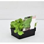 salades  plants potager - La jardinerie de pessicart nice - Livraison a domicile nice 06 plantes vertes terres terreaux jardinage arbres cactus