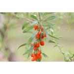 baie de goji lyciet lycium petits fruits rouges 2 - La jardinerie de pessicart nice - Livraison a domicile nice 06 plantes vertes terres terreaux jardinage arbres cactus