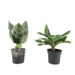bananier musa  2 - La jardinerie de pessicart nice - Livraison a domicile nice 06 plantes vertes terres terreaux jardinage arbres cactus