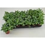 pilea repens - La jardinerie de pessicart nice - Livraison a domicile nice 06 plantes vertes terres terreaux jardinage arbres cactus