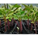 plants de tomates plantons potager - La jardinerie de pessicart nice - Livraison a domicile nice 06 plantes vertes terres terreaux jardinage arbres cactus