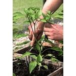 Poivrons 2 plantons plants potager - La jardinerie de pessicart nice - Livraison a domicile nice 06 plantes vertes terres terreaux jardinage arbres cactus