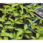 Poivrons plantons plants potager - La jardinerie de pessicart nice - Livraison a domicile nice 06 plantes vertes terres terreaux jardinage arbres cactus