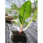 blettes plantons plants potager - La jardinerie de pessicart nice - Livraison a domicile nice 06 plantes vertes terres terreaux jardinage arbres cactus