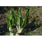 blettes plantons plants potager 2 - La jardinerie de pessicart nice - Livraison a domicile nice 06 plantes vertes terres terreaux jardinage arbres cactus
