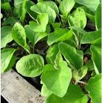 aubergine plantons plants potager - La jardinerie de pessicart nice - Livraison a domicile nice 06 plantes vertes terres terreaux jardinage arbres cactus