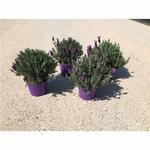 lavandes papillon stoechas aromatique 2 -  La jardinerie de pessicart nice - Livraison a domicile nice 06 plantes vertes terres terreaux jardinage arbres cactus
