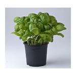 basilic aromatique -  La jardinerie de pessicart nice - Livraison a domicile nice 06 plantes vertes terres terreaux jardinage arbres cactus