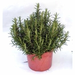 romarin aromatique 2 -  La jardinerie de pessicart nice - Livraison a domicile nice 06 plantes vertes terres terreaux jardinage arbres cactus