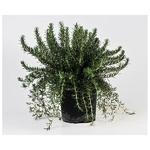 romarin corse aromatique 2 -  La jardinerie de pessicart nice - Livraison a domicile nice 06 plantes vertes terres terreaux jardinage arbres cactus