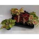 coleus  2 -  La jardinerie de pessicart nice - Livraison a domicile nice 06 plantes vertes terres terreaux jardinage arbres cactus