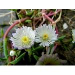 ficoides blanc - La jardinerie de pessicart nice - Livraison a domicile nice 06 plantes vertes terres terreaux jardinage arbres cactus